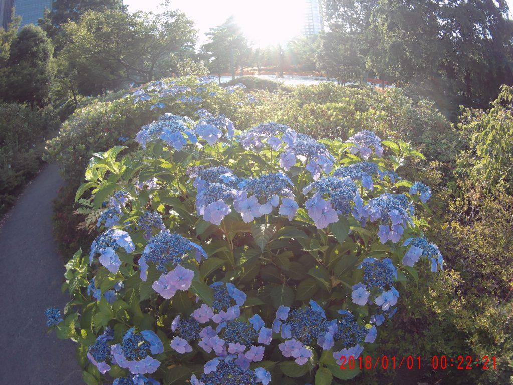 逆光の紫陽花(TEC.BEAN)