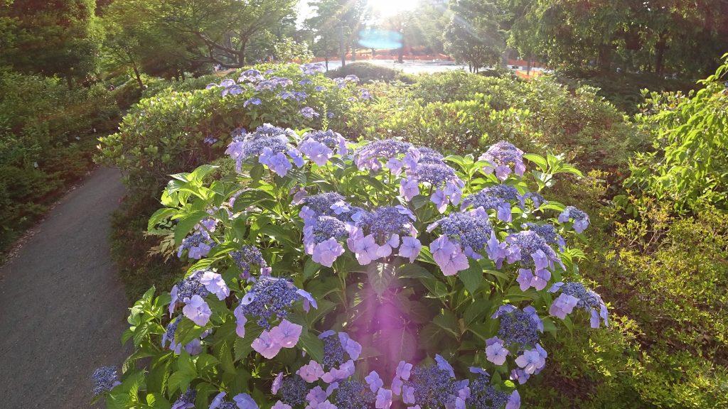 逆光の紫陽花(ソニー)